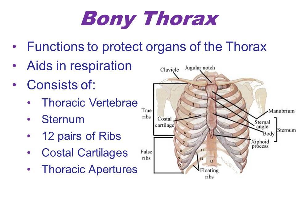 Bony Thorax Lungs Pleural Cavities Bronchi